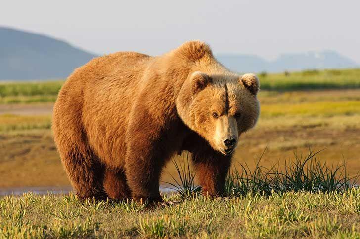 Ejemplar de oso grizzly